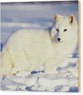 Usa, Alaska Arctic Fox In Winter Coat Wood Print
