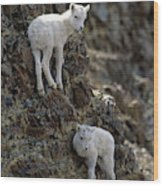 Usa, Alaska, Dall Sheep, Dall Lamb Wood Print