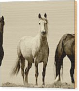 Usa, Wyoming, Young Wild Stallions Wood Print