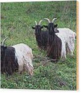 Valais Blackneck Goats Wood Print