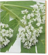 Valerian Flowers (valeriana Officinalis) Wood Print