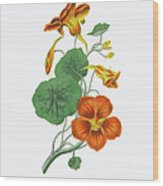 Victorian Botanical Illustration Of Wood Print