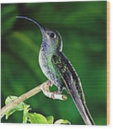 Violet Sabre-wing Hummingbird Wood Print by Michael and Patricia Fogden