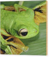 Wallace's Flying Frog Wood Print