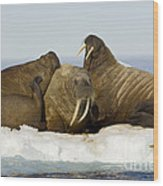 Walruses Resting On Ice Floe Wood Print