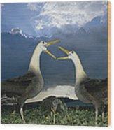Waved Albatross Courtship Dance Wood Print