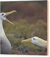 Waved Albatross Courtship Display Wood Print by Tui De Roy