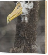 Waved Albatross Molting Juvenile Wood Print