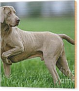 Weimaraner Dog Wood Print
