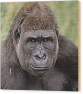 Western Lowland Gorilla Young Male Wood Print