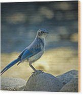 Western Scrub Jay Thief Wood Print