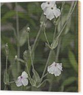 White Rose Campion Wood Print