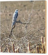 White Tailed Kite Wood Print