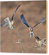 White-tailed Kite Siblings Wood Print