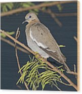 White-winged Dove Wood Print