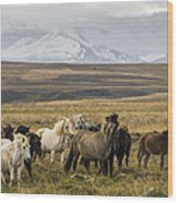 Wild Icelandic Horses Wood Print