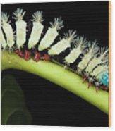 Wild Silk Moth Caterpillar (saturniidae Wood Print