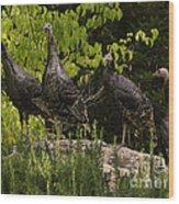 Wild Turkey Meleagris Gallopavo Wood Print