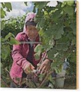 Wine Grape Harvest Wood Print