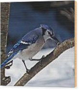 Hungry Winter Blue Jay Wood Print