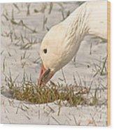 Wintering Snow Goose Wood Print