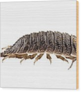 Woodlouse Species Porcellio Wagnerii Wood Print