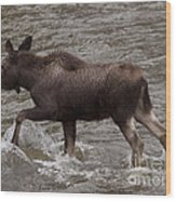 Yearling Moose In The Shoshone River   #1289 Wood Print