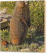 Yellow Bellied Marmot On Alert In  Rocky Mountain National Park Wood Print