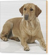 Yellow Labrador Retriever Wood Print