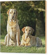 Yellow Labrador Retrievers Wood Print