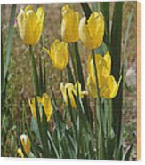 Yellow Tulips At The Arboretum Wood Print