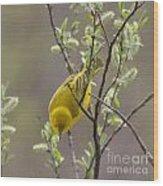 Yellow Warbler -1 Wood Print