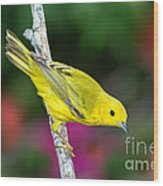 Yellow Warbler Dendroica Petechia Wood Print