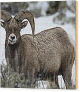 Yellowstone Ram Wood Print by David Yack