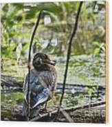 Young Wood Duck Wood Print