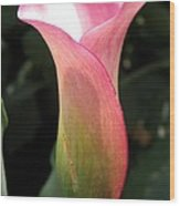 Zantedeschia Named Mozart Wood Print