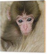 Baby Snow Monkey, Japan Wood Print