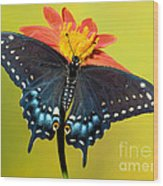 Eastern Black Swallowtail Butterfly Wood Print