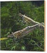 Fresh Water Shrimp Wood Print