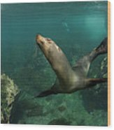 Galapagos Sea Lion (zalophus Wollebaeki Wood Print
