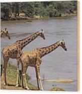 Girafe Reticulee Giraffa Camelopardalis Wood Print