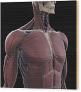 Muscles Of The Upper Body Wood Print
