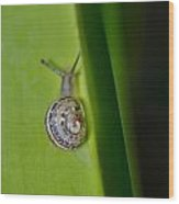 Snail On Leaf Wood Print