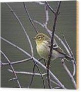 Blackpoll Warbler Wood Print