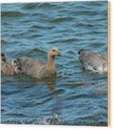 Falkland Islands, Bleaker Island Wood Print