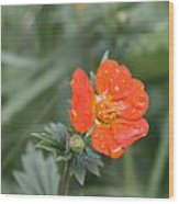 Scarlet Avens Orange Wild Flower Wood Print