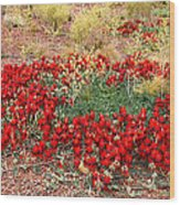 Sturt's Desert Pea Outback South Australia Wood Print