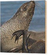 Antarctic Fur Seal Wood Print