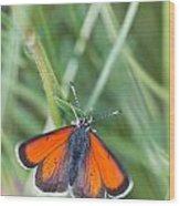 12 Balkan Copper Butterfly Wood Print