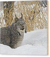 Canadian Lynx Wood Print